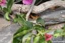 Gallotia caesaris gomerae