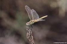 weibliche Frühe Heidelibelle (Sympetrum fonscolombii) auf La Gomera