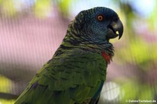 Blaustirnamazone (Amazona versicolor) auf St. Lucia