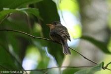 Kleinantillen-Schnäppertyrann (Contopus latirostris latirostris) auf St. Lucia