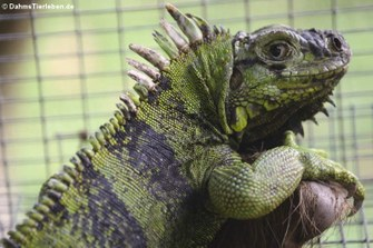 Saint Lucia horned iguana