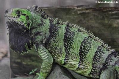 Grüner Leguan auf St. Lucia