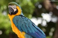 Gelbbrustara (Ara ararauna) im St. Maarten Zoological Park