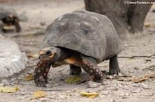 Köhlerschildkröte (Chelonoidis carbonaria) im St. Maarten Zoological Park