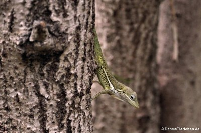 Anguilla Anolis (Anolis gingivinus)