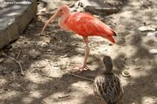 Scharlachsichler (Eudocimus ruber) im St. Maarten Zoological Park