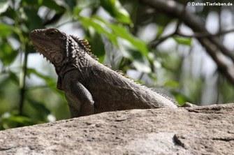 Grüner Leguan auf Sint Maarten