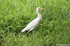 Kuhreiher (Bubulcus ibis) auf Martinique