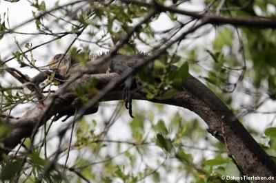 Karibischer Grüner Leguan (Iguana delicatissima)