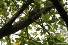 Karibischer Grüner Leguan (Iguana delicatissima) auf der Îlet Chancel, Martinique