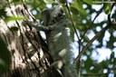 Iguana iguana