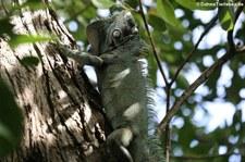 Grüner Leguan (Iguana iguana) auf Martinique
