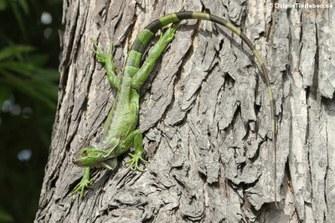 Grüner Leguan auf Martinique