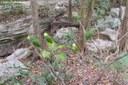 Amazona ochrocephala ochrocephala