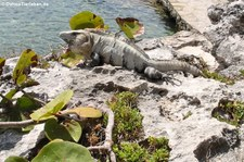 Schwarzer Leguan (Ctenosaura similis) in Cancun, Mexiko