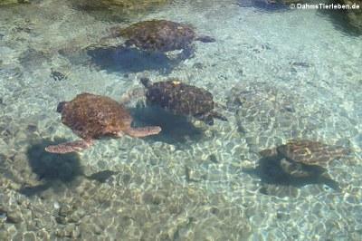 Grüne Meeresschildkröten (Chelonia mydas) Aufzuchtstation von Xcaret