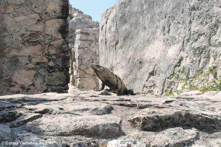 Schwarzer Leguan (Ctenosaura similis)
