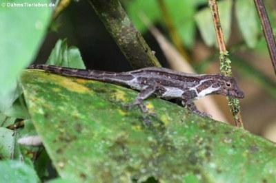 Kammanolis (Anolis cristatellus cristatellus)