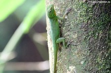 Smaragd-Anolis (Anolis evermanni) im El Yunque National Forest, Puerto Rico