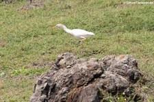 Kuhreiher (Bubulcus ibis) auf Saint Martin