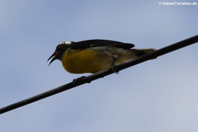 Zuckervogel (Coereba flaveola bartholemica)