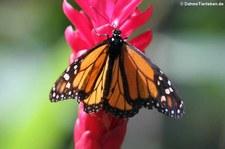 Monarchfalter (Danaus plexippus) in der Butterfly Farm, Saint-Martin