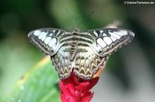 Blauer Segler (Parthenos sylvia) in der Butterfly Farm, Saint-Martin