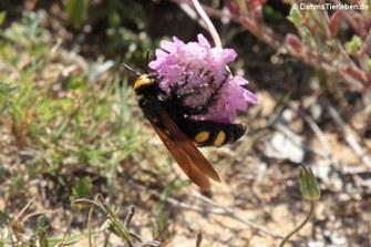 Gelbköpfige Dolchwespe (Megascolia maculata)