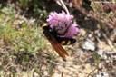 Megascolia maculata