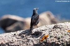 Blaumerle (Monticola solitarius solitarius) auf Capo Testa, Sardinien