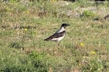 Nebelkrähe (Corvus cornix cornix), Golfo di Marinella, Sardinien