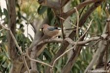 Eichelhäher (Garrulus glandarius ichnusae), Golfo di Marinella, Sardinien