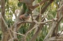 Garrulus glandarius ichnusae
