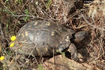 Breitrandschildkröte (Testudo marginata sarda) in Marinella