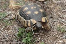 Breitrandschildkröte (Testudo marginata sarda), Golfo di Marinella, Sardinien