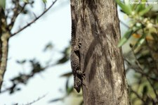 Mauergecko (Tarentola mauritanica mauritanica) am Tempel von Malchittu, Sardinien