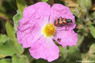 Zottiger Bienenkäfer (Trichodes leucopsideus) auf einer Zistrose (Cistus albidus)