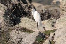 Silberreiher (Ardea alba alba) Lagune von San Teodoro, Sardinien