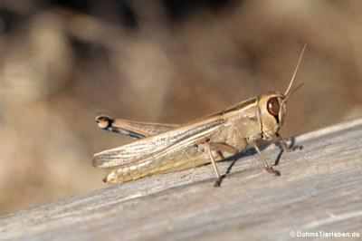 Heuschrecke (Eyprepocnemis plorans)