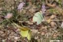 Gonepteryx cleopatra italica