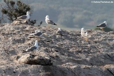 Junge Mittelmeermöwen (Larus michahellis)
