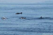 Blau-Weißer Delfin (Stenella coeruleoalba) im Tyrrhenischen Meer zwischen Sardinien und Korsik