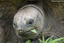 Aldabra-Riesenschildkröte (Aldabrachelys gigantea) auf Bird Island, Seychellen