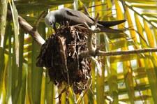 Schlankschnabelnoddi (Anous tenuirostris tenuirostris) auf Bird Island, Seychellen