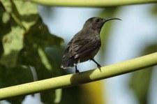Seychellen-Nektarvogel (Cinnyris dussumieri), Bird Island, Seychellen