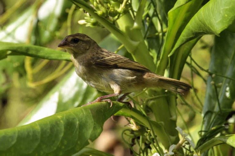 Foudia madagascariensis female