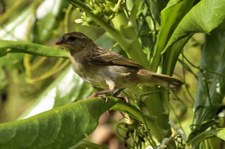 Madagaskarweber (Foudia madagascariensis) auf Bird Island, Seychellen