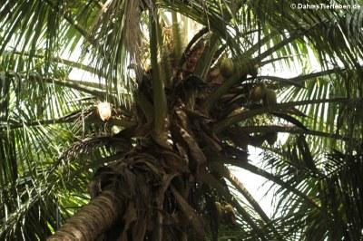 Kokosnusspalme (Cocos nucifera)