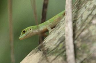 Kleiner Seychellen-Taggecko (Phelsuma astriata semicarinata)