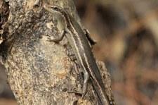 Seychellen Skink (Trachylepis seychellensis) auf Bird Island, Seychellen